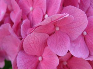 Small flowers of hydrangea