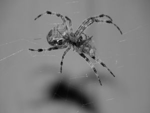 Spider in black and white