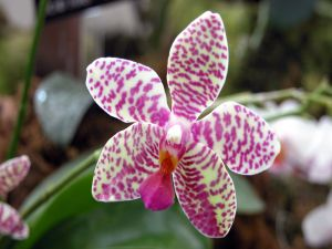 Orchid with beautiful colors