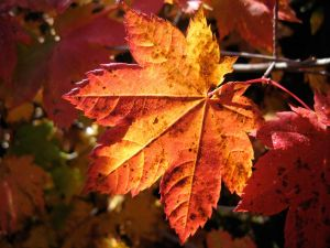 Autumnal leaves wet with rain