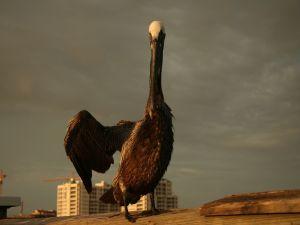 A wet pelican