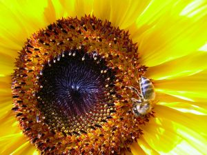 Bee on a sunflower