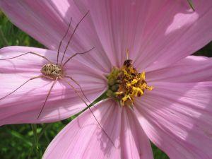 Spider on a pink flower