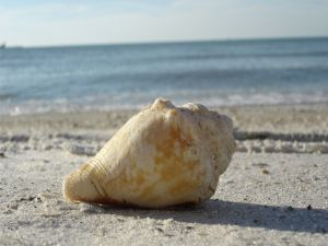 A large seashell on the beach