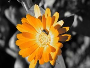 Orange flower and a bee