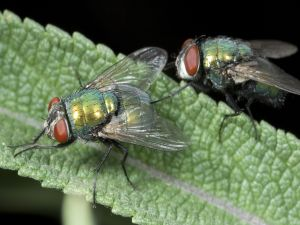 Two flies over a green leaf