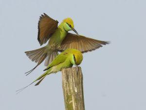 Green birds over a stick