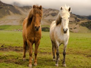 Two horses on a farm of Iceland