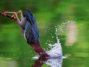 American Heron seeking their food in the water