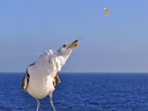 Seagull in the sea watching their food