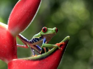 A little frog over a red flower looking attentively