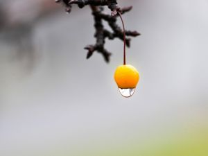 Water drop falling from a orange fruit