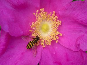 Bright bee on a pink flower