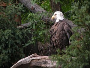 Eagle between vegetation