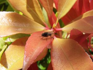 Black fly over a leaf