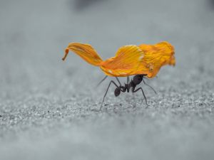 Ant carrying a flower petal