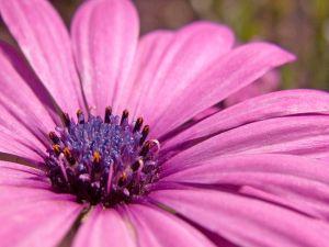 A lilac gerbera