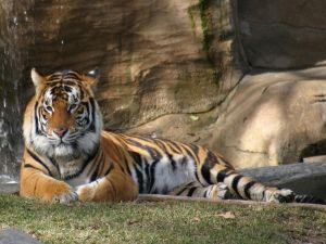 Tiger in resting
