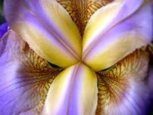 Petals of an orchid