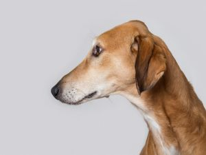 Brown dog of profile