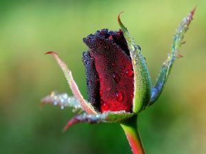 Dew drops on a rosebud