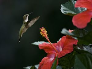 Hummingbird attentive to red flowers