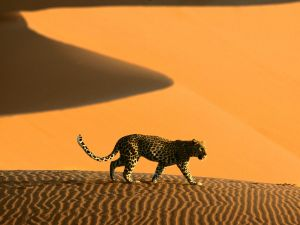 Leopard in the desert sands