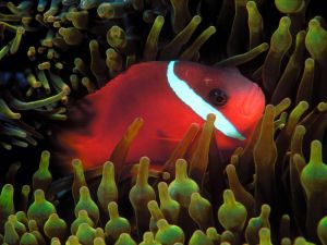 Red fish in an sea anemone