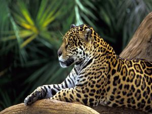 Jaguar in the jungle