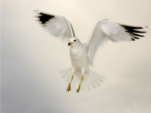 Seagull with outstretched wings