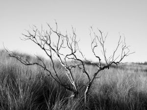 Lone tree in black and white