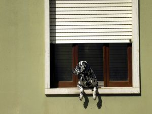 Dalmatian in the window