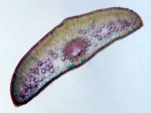 Taxus, leaf