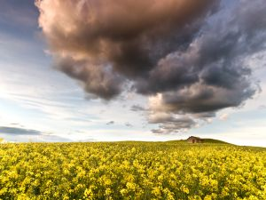Field of canola flowers