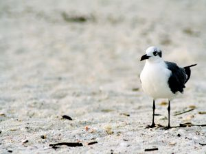 White and black seagull in the sand