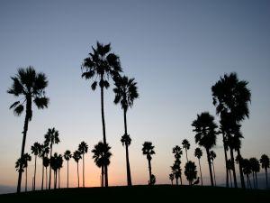 Palm trees at dusk
