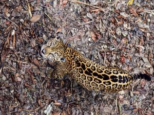 Jaguar in soil