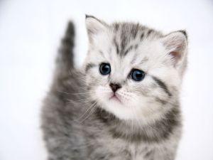 Обои Маленький серенький котенок с животными 1366x768 px. Обои Животные дл
