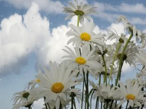 White daisies and rain