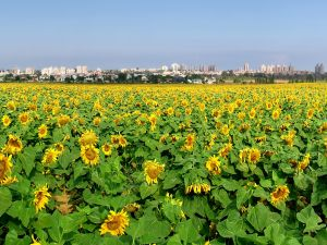 Field of sunflowers near the city