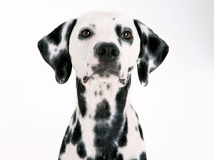 Dog with black spots