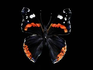 Butterfly on black background