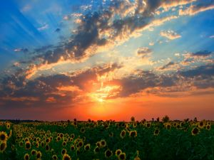 Field of sunflowers and a beautiful sunset