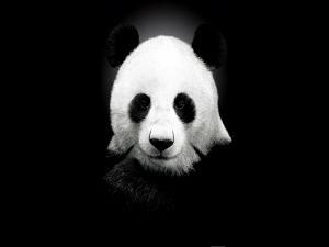 Panda bear on black background