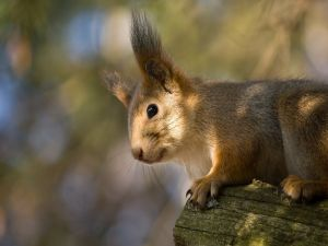 Squirrel with big ears