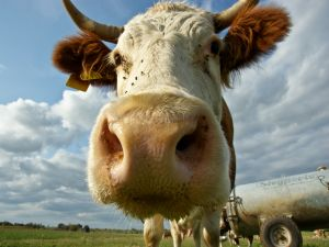 Flies in the face of the cow