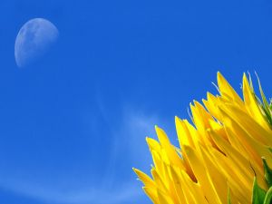 Petals of a sunflower and the moon