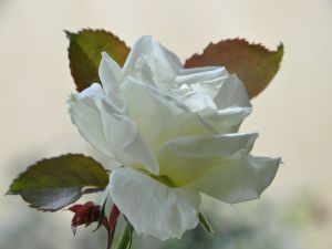 Rose with white petals