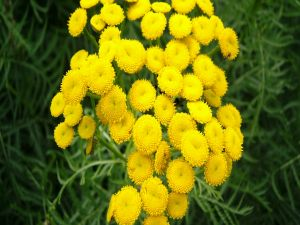 Yellow flowers without petals
