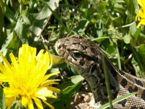Lizard among yellow flowers